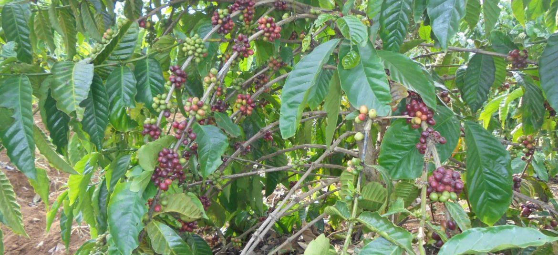 coffe grown-exfanug